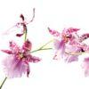 Giva Orkidé næring